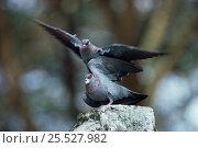 Купить «Speckled pigeons mating, Kenya (Columba guinea)», фото № 25527982, снято 19 августа 2018 г. (c) Nature Picture Library / Фотобанк Лори