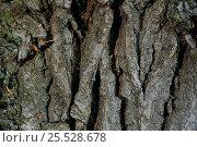 Купить «Close up of Oak tree bark. Scotland (Quercus robur)», фото № 25528678, снято 22 сентября 2018 г. (c) Nature Picture Library / Фотобанк Лори