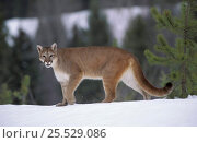 Купить «Puma walking in snow (Felis concolor) aka Mountain lion or Cougar. Captive North America», фото № 25529086, снято 16 декабря 2018 г. (c) Nature Picture Library / Фотобанк Лори