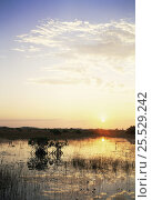 Купить «Red mangrove trees (Rhizophora mangle) at sunset, Everglades NP, Florida», фото № 25529242, снято 25 мая 2020 г. (c) Nature Picture Library / Фотобанк Лори