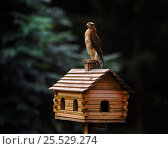 Купить «Male Sparrowhawk perched on birdhouse, Sweden», фото № 25529274, снято 28 мая 2018 г. (c) Nature Picture Library / Фотобанк Лори