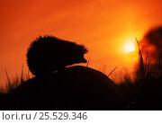 Купить «Hedgehog (Erinaceus europaeus) silhouette at sunset. Poland, Europe», фото № 25529346, снято 19 августа 2018 г. (c) Nature Picture Library / Фотобанк Лори