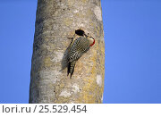 Купить «West Indian Woodpecker (Melanerpes supercilliaris) Excavating nest cavity in palm tree trunk Zapata Swamp, Cuba», фото № 25529454, снято 15 декабря 2017 г. (c) Nature Picture Library / Фотобанк Лори