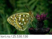 Купить «Dark green fritillary (Mesoacidalia aglaja) showing underside of wings. Scotland, UK, Europe», фото № 25530130, снято 19 августа 2018 г. (c) Nature Picture Library / Фотобанк Лори