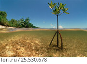 Купить «Young Mangrove tree sapling split-level shot, Caribbean», фото № 25530678, снято 4 августа 2020 г. (c) Nature Picture Library / Фотобанк Лори