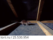 Купить «Brown rat in attic, England», фото № 25530954, снято 23 мая 2018 г. (c) Nature Picture Library / Фотобанк Лори