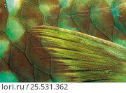 Купить «Close-up of fin of Parrotfish, Caribbean», фото № 25531362, снято 10 июля 2020 г. (c) Nature Picture Library / Фотобанк Лори