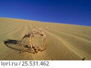 Купить «Birdcage evening primrose (tumbleweed) in sand dunes. Yuma Desert, Arizona, USA», фото № 25531462, снято 23 июля 2018 г. (c) Nature Picture Library / Фотобанк Лори