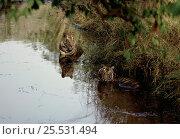 Купить «Tigers keeping cool in water, Bandhavgarh National Park, India», фото № 25531494, снято 26 февраля 2020 г. (c) Nature Picture Library / Фотобанк Лори