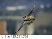Купить «Peregrine Falcon {Falco Peregrinus} in flight, Germany.», фото № 25531766, снято 19 октября 2018 г. (c) Nature Picture Library / Фотобанк Лори