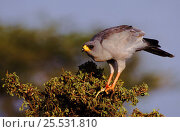 Купить «Pale chanting goshawk in tree, Samburu, Kenya», фото № 25531810, снято 21 марта 2019 г. (c) Nature Picture Library / Фотобанк Лори