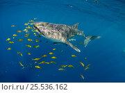 Купить «Whale Shark (Rhincodon typus) and Golden trevally (Gnathanodon speciosus) Cenderawasih Bay, West Papua, Indonesia.», фото № 25536162, снято 26 марта 2019 г. (c) Nature Picture Library / Фотобанк Лори