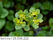 Купить «Opposite-leaved Golden-Saxifrage (Chrysosplenium oppositifolium) close up portrait, Holly Farm, Sussex, UK», фото № 25536222, снято 18 октября 2018 г. (c) Nature Picture Library / Фотобанк Лори