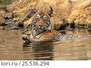 Купить «Bengal tiger (Panthera tigris tigris) male cooling off in waterhole during summer heat Ranthambhore, India.», фото № 25536294, снято 28 мая 2020 г. (c) Nature Picture Library / Фотобанк Лори