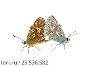Купить «Chalkhill Blues (Polyommatus coridon) mating, Rhineland-Palatinate, Germany, August. Meetyourneighbours.net project», фото № 25536582, снято 24 января 2018 г. (c) Nature Picture Library / Фотобанк Лори