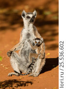 Купить «Ring-tailed Lemur (Lemur catta) mother and baby  Berenty, Madagascar. Photograph taken on location for BBC 'Wild Madagascar' Series, September 2009.», фото № 25536602, снято 22 сентября 2018 г. (c) Nature Picture Library / Фотобанк Лори