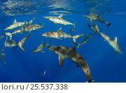 Купить «Shoal of Silky sharks (Carcharhinus falciformis) Jardines de la Reina National Park, Cuba», фото № 25537338, снято 25 марта 2019 г. (c) Nature Picture Library / Фотобанк Лори