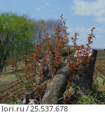 Купить «Wild cherry (Prunus / Cerasus jamasakura) sprouting from cut stump, Hachioji, Tokyo, Japan, April», фото № 25537678, снято 24 сентября 2018 г. (c) Nature Picture Library / Фотобанк Лори