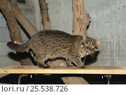 Купить «Iriomote Cat (Felis / Prionailurus iriomotensis) captive, Okinawa Zoo and Museum, Okinawa, Japan, Critically endangered», фото № 25538726, снято 21 июля 2018 г. (c) Nature Picture Library / Фотобанк Лори