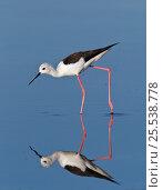 Купить «Black-Winged Stilt (Himantopus himantopus) wading. Etosha National Park, Namibia, January.», фото № 25538778, снято 26 марта 2019 г. (c) Nature Picture Library / Фотобанк Лори