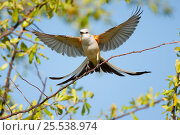 Купить «Scissor-tailed flycatcher (Tyrannus forficatus) landing on branch with wings and tail outspread, Wichita Mountains National Wildlife Refuge, Oklahoma, USA, May», фото № 25538974, снято 14 августа 2018 г. (c) Nature Picture Library / Фотобанк Лори