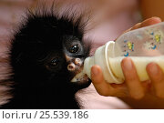 Купить «Young Long haired / White-bellied Spider monkey (Ateles belzebuth) being fed bottle of milk, Amazoonico Animal Rescue Center (captive) Ecuador, South America», фото № 25539186, снято 17 ноября 2019 г. (c) Nature Picture Library / Фотобанк Лори