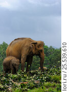 Купить «Asian Elephants (Elephas maximus) adult and baby feeding on cut vegetation, elephant orphanage of Pinnawela, Sri Lanka, Asia.», фото № 25539610, снято 16 июля 2018 г. (c) Nature Picture Library / Фотобанк Лори