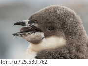 Купить «Chinstrap penguin (Pygoscelis antarctica) portrait of chick, with barbed tongue visible. Antarctica, February», фото № 25539762, снято 24 февраля 2020 г. (c) Nature Picture Library / Фотобанк Лори