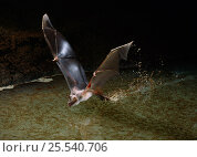 Mexican bulldog bat {Noctilio leporinus} flying low over water, trawling for fish, controlled conditions, from South America. Стоковое фото, фотограф Stephen Dalton / Nature Picture Library / Фотобанк Лори