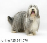 Купить «Bearded Collie bitch, Flora.», фото № 25541070, снято 17 октября 2019 г. (c) Nature Picture Library / Фотобанк Лори