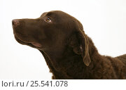 Купить «Chesapeake Bay Retriever dog, Teague.», фото № 25541078, снято 18 октября 2019 г. (c) Nature Picture Library / Фотобанк Лори