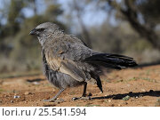 Купить «Apostlebird (Struthidea cinerea) Mungo National Park, New South Wales, Australia», фото № 25541594, снято 22 августа 2018 г. (c) Nature Picture Library / Фотобанк Лори