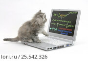 Купить «Maine Coon kitten looking at a laptop computer with mathematical formulae on the screen», фото № 25542326, снято 7 декабря 2019 г. (c) Nature Picture Library / Фотобанк Лори