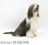 Купить «Bearded Collie bitch, Ellie, sitting.», фото № 25542578, снято 17 октября 2019 г. (c) Nature Picture Library / Фотобанк Лори