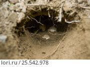 Купить «Cook Strait / Common / Northern tuatara (Sphenodon punctatus) wild nest burrow with eggs, Karori Sanctuary, Wellington, New Zealand, endangered species, endemic», фото № 25542978, снято 17 августа 2018 г. (c) Nature Picture Library / Фотобанк Лори