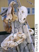 Купить «Skulls of Polar Bear {Ursus maritimus} hung up on post, Baffin Island, Canada», фото № 25543478, снято 26 апреля 2019 г. (c) Nature Picture Library / Фотобанк Лори