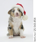 Купить «Border Collie puppy wearing a Father Christmas hat.», фото № 25543854, снято 16 июля 2018 г. (c) Nature Picture Library / Фотобанк Лори
