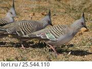 Купить «Three Crested pigeons (Ocyphaps lophotes) Central Australia», фото № 25544110, снято 22 февраля 2019 г. (c) Nature Picture Library / Фотобанк Лори