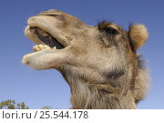 Купить «Dromedary camel (Camelus dromedarius) head portrait with mouth open, Northern Territory, Australia», фото № 25544178, снято 14 декабря 2019 г. (c) Nature Picture Library / Фотобанк Лори