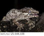 Купить «New Caledonia bumpy gecko / Gargoyle gecko {Rhacodactylus auriculatus} New Caledonia», фото № 25544338, снято 22 ноября 2017 г. (c) Nature Picture Library / Фотобанк Лори