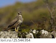 Купить «Common buzzard {Buteo buteo} adult perched on rocks, Isle of Mull, Inner Hebrides, Scotland, UK.», фото № 25544954, снято 14 августа 2018 г. (c) Nature Picture Library / Фотобанк Лори