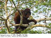 Orang utan {Pongo pygmaeus} eating fruit in tree, Borneo. Стоковое фото, фотограф Nick Garbutt / Nature Picture Library / Фотобанк Лори