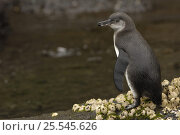 Купить «Galapagos penguin (Spheniscus mendiculus) Isabela Is, Galapagos», фото № 25545626, снято 25 апреля 2019 г. (c) Nature Picture Library / Фотобанк Лори