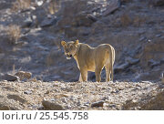 Купить «Lioness (Panthera leo) in the desert with a radio collar just visible, Namibia», фото № 25545758, снято 22 января 2019 г. (c) Nature Picture Library / Фотобанк Лори