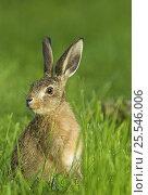 Купить «European hare {Lepus europaeus} in grassland, 8-weeks-old, UK», фото № 25546006, снято 18 января 2019 г. (c) Nature Picture Library / Фотобанк Лори
