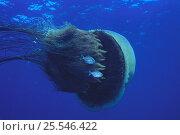 Купить «Nomura's / Sand Jellyfish {Nemopilema nomurai} swimming sideways, with Japanese Butterfish {Psenopsis anomala} young attached to the tentacles,  Oki, Shimane, Japan», фото № 25546422, снято 16 октября 2019 г. (c) Nature Picture Library / Фотобанк Лори