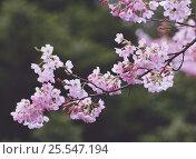 Купить «Cherry blossom {Prunus(Cerasus) × yedoensis 'Jindai-akebono'} Tokyo, Japan», фото № 25547194, снято 24 сентября 2018 г. (c) Nature Picture Library / Фотобанк Лори