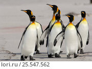 Group of King penguins {Aptenodytes patagonicus} walking along beach, Falkland Islands. Стоковое фото, фотограф Solvin Zankl / Nature Picture Library / Фотобанк Лори