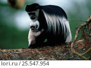 Купить «Black and white colobus monkey with white baby {Colobus guereza} in tree. Kenya.», фото № 25547954, снято 21 января 2020 г. (c) Nature Picture Library / Фотобанк Лори