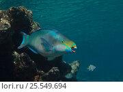 Купить «Queen parrotfish (Scarus vetula) Bonaire, Netherlands Antilles, Caribbean», фото № 25549694, снято 10 июля 2020 г. (c) Nature Picture Library / Фотобанк Лори